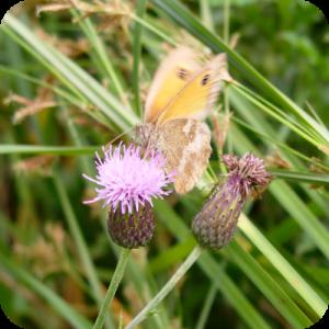 roundedsquarebutterfly